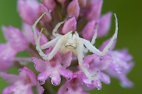 Crab spider (Misumena spec.) in threat-pose on Pyramidal Orchid (Anacamptis pyramidalis), San Marino.