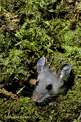MU12-074z  Deer Mouse - young adult six weeks old - Peromyscus maniculatus