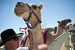 Ryan Gillaspie, of Pioneer, Calif. pets a camel before the 51st annual International Camel Races in Virginia City, Nevada  September 12, 2010. .CREDIT: Max Whittaker for The Wall Street Journal.CAMEL