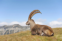 Alpine Ibex (Capra ibex), buck sitting, Niederhorn, Interlaken, Switzerland, Europe