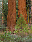 Young and old Giant Sequoias (Sequoiadendron giganteum), Mariposa Grove, Yosemite National Park, California, USA.