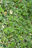 Shade groundcovers mixture: Vinca minor and Waldsteinia, strawberry Fragaria in fruits attractive to wildlife