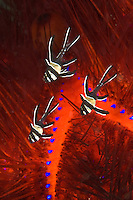 A trio of juvenile Banggai Cardinalfish, Pterapogon kaudemi, hover among the protective spines of a sea urchin. Lembeh Strait, North Sulawesi, Indonesia