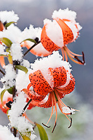 First snowfall of the season covers late blooming Tiger Lillies in in Eagle River in Southcentral Alaska. Afternoon. Fall.