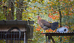 One of Wayne Asher's free roaming hens perched atop a cage for another rooster in the early Kentucky morning. Asher seperates the males after they hit a certain age because they attack one another often.