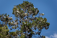 Nesting Snowy and Great egrets, adults and juveniles, are too numerous to count in this neighborhood tree in Alameda, California.