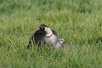 A nene (or Hawaiian goose, or Branta sandvicensis) with gosling, Hawai'i.