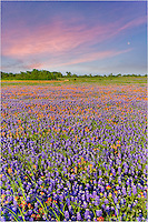 This field of Texas Wildflowers was found near Whitehall, Texas one spring evening. The bluebonnets and Indian Paintbrush complemented the pink sky this peaceful evening.