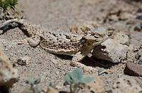 437800018 a wild southern desert horned lizard phrynosoma platyrhinos calidiarum suns on the rock strewn ground in mono county california