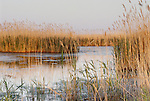 Reeds in a marsh landscape, Cape May State Park, New Jersey
