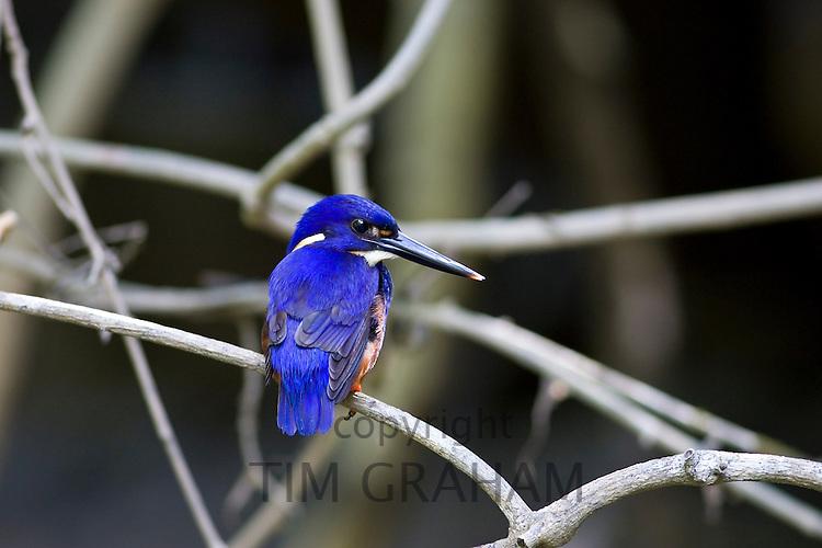 Tree Kingfisher, Queensland, Australia