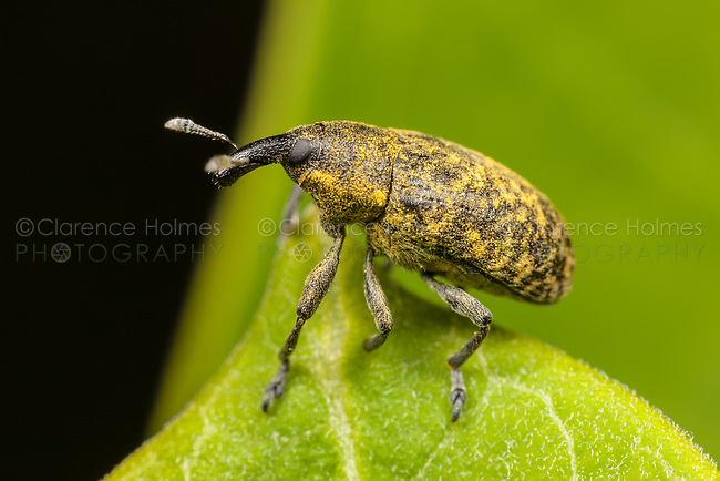 A Canada Thistle Bud Weevil (Larinus planus) at the edge of a leaf.