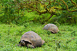 Santa Cruz Island, home to giant tortoises and the Charles Darwin Research Center, Galapagos National Park, Galapagos, Ecuador. Wild, migratory domed tortoises grazing in the Highlands of Santa Cruz Island in the Galapagos.