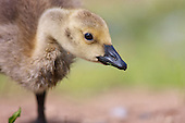 Canada Goose (Branta canadensis) Ground level side view image of a Canada Goose gosling, foraging for food.