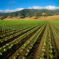 Agriculture - Early growth Iceberg lettuce field in early morning light / Salinas Valley, California, USA