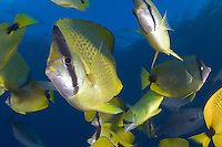 The Milletseed butterflyfish, Chaetodon miliaris, is endemic and one of the more common butterflyfish speces in Hawaii.