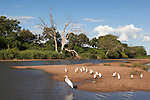 Egrets on Shingwedzi river, Kruger national park, South Africa