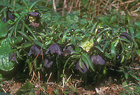 Helleborus torquatus GR20406 with very dark purple nearly black flowers
