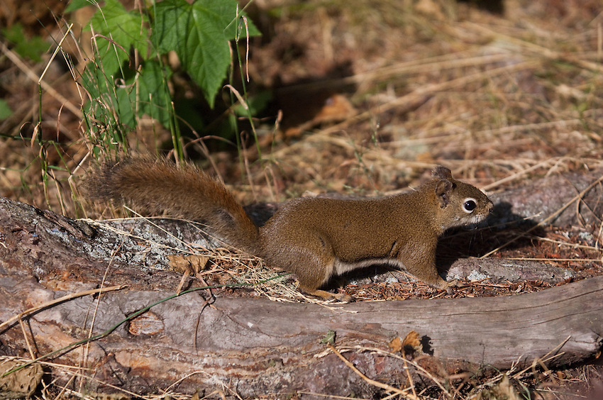 Isle Royale red squirrel at Isle Royale National Park.