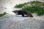 Africa, South Africa, Simons Town, Boulders Beach. African Penguin resting at Boulders Beach near Simons Town on False Bay.