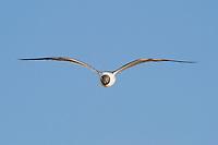 540070014 Laughing Gull Larus atricilla WILD _DLW4444.In Flight.South Padre Island, Texas