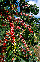 ripe coffee beans on the vine, coffee plantation on Big Island of Hawaii