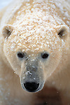 Portrait of a polar bear, Canada.