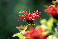 The spiky flower of a Raspberry colored Bee Balm, Monarda didyma, highlighted by sunlight in summer garden