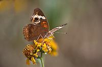 Buckeye Butterfly on cowpen Daisy
