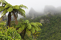 Fern trees and cliffs in rain, Te Urewera National Park, North Island, New Zealand