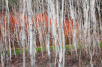 white bark poplars trees (Populus tremuloides) in California native plant garden
