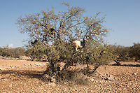 Morocco - Tidzi - The argan tree is endemic to the South-West of Morocco and sustains the economy of the whole region. Apart from its precious oil, its fruits are used for feeding domestic animals and its branches are often employed to make firewood or charcoal. A natural barrier against desertification, despite being protected by UNESCO the argan forest is threatened by over-exploitation and the expansion of the nearby cities of Essaouira and Agadir.