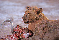 656251002  a wild, female African lion panthera leo feeding on a cape buffalo kill in Ambroseli National Park in Kenya.