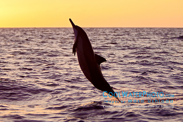 [Photos Dauphins] Sauts les plus impressionnants Spinner-Dolphin-Hawaiian-0186
