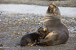 An Antarctic fur seal and its pup rest on a the beach at Right Whale Bay in South Georgia Island, South Atlantic Ocean.