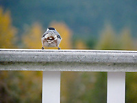 Cute little nuthatch from behind