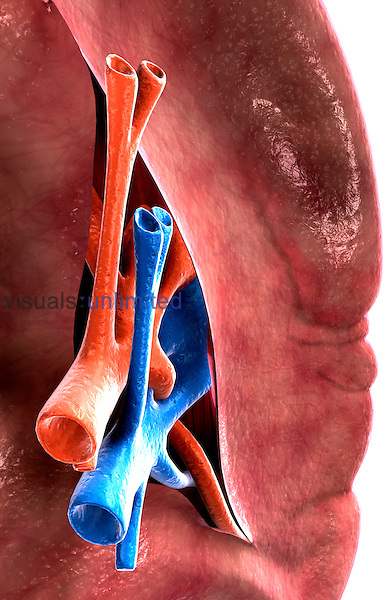 The visceral surface of the spleen. Royalty Free