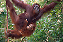 Mother Orangutan and Baby Hanging in a Tree; Tanjung Puting National Park, Borneo, Indonesia