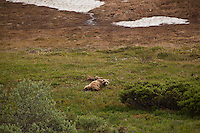 A mother grizzly bear lounges with her two cubs up on a hillside in Denali National Park.