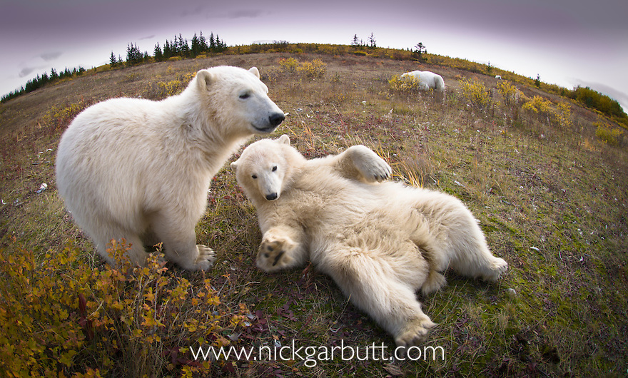 Polar Bear Cubs (7-8 months old) (Ursus maritimus) playing. Summer season (Sept), tundra vegetation on shores of Hudson Bay, Canada.
