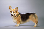 Pembroke Welsh Corgi <br /> <br />  Shopping cart has 3 Tabs:<br /> <br /> 1) Rights-Managed downloads for Commercial Use<br /> <br /> 2) Print sizes from wallet to 20x30<br /> <br /> 3) Merchandise items like T-shirts and refrigerator magnets