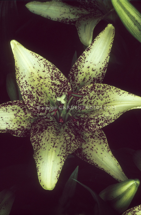 Lilium 'Suncrest' spotted lily yellow with red markings summer flowering bulb, LA Hybrid