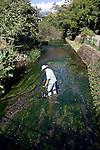 Volunteer Toji Yamaguchi tends to the Baikomo aquatic plant growing in the Genbe River in Mishima, Shizuoka Prefecture Japan on 02 Oct. 2012.  Photographer: Robert Gilhooly