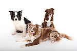 Group of Border Collie Dogs, various colours, in studio