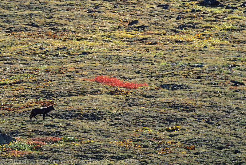 Black wolf on the tundra in Atigun canyon, Brooks mountain range, Alaska