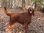 Irish Setter, the playful friendly companion who somehow always looks elegant. Shopping cart has 3 Tabs:<br />