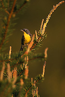 An endangered Kirtland's Warbler, Dendroica kirtlandii, in Jack Pine in late afternoon sun; Michigan