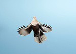 Collared Dove, Streptopelia decaocto, UK,  in flight, flying, high speed photographic technique, garden, blue sky background, cut out