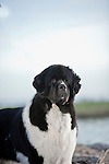 pet, dog, newfoundland, champion, lifeguard, brave, dedicated, Shopping cart has 3 Tabs:<br />