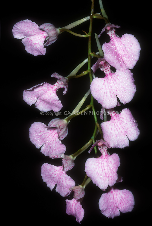 Comparettia macroplectron orchid species, small pink flowers, epiphytes often on guava trees in native Colombia